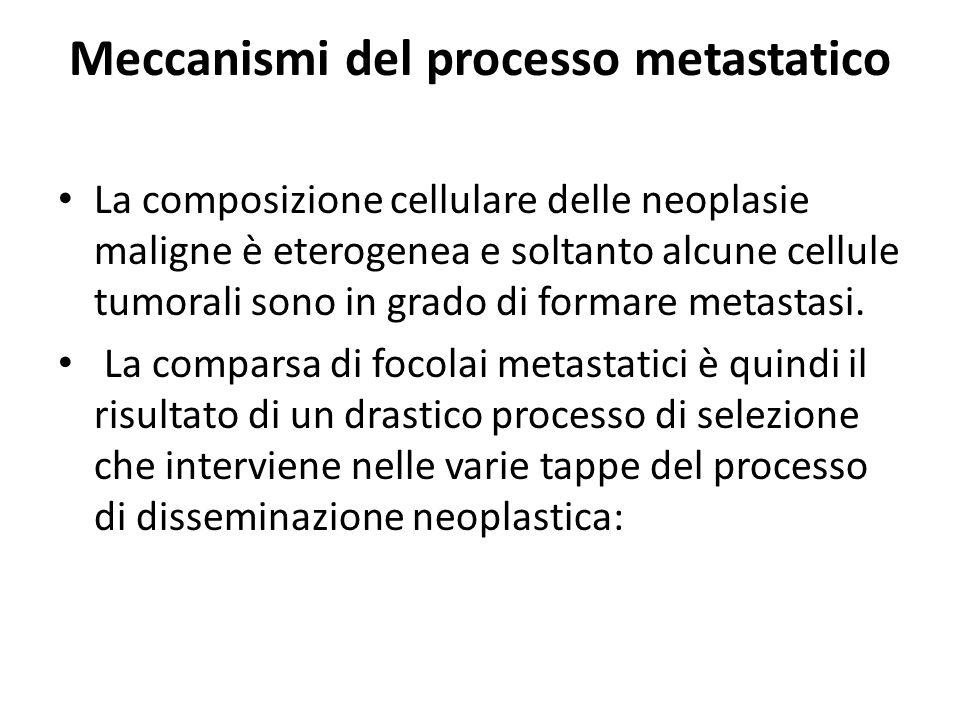 Meccanismi del processo metastatico La composizione cellulare delle neoplasie maligne è eterogenea e soltanto alcune cellule tumorali sono in grado di