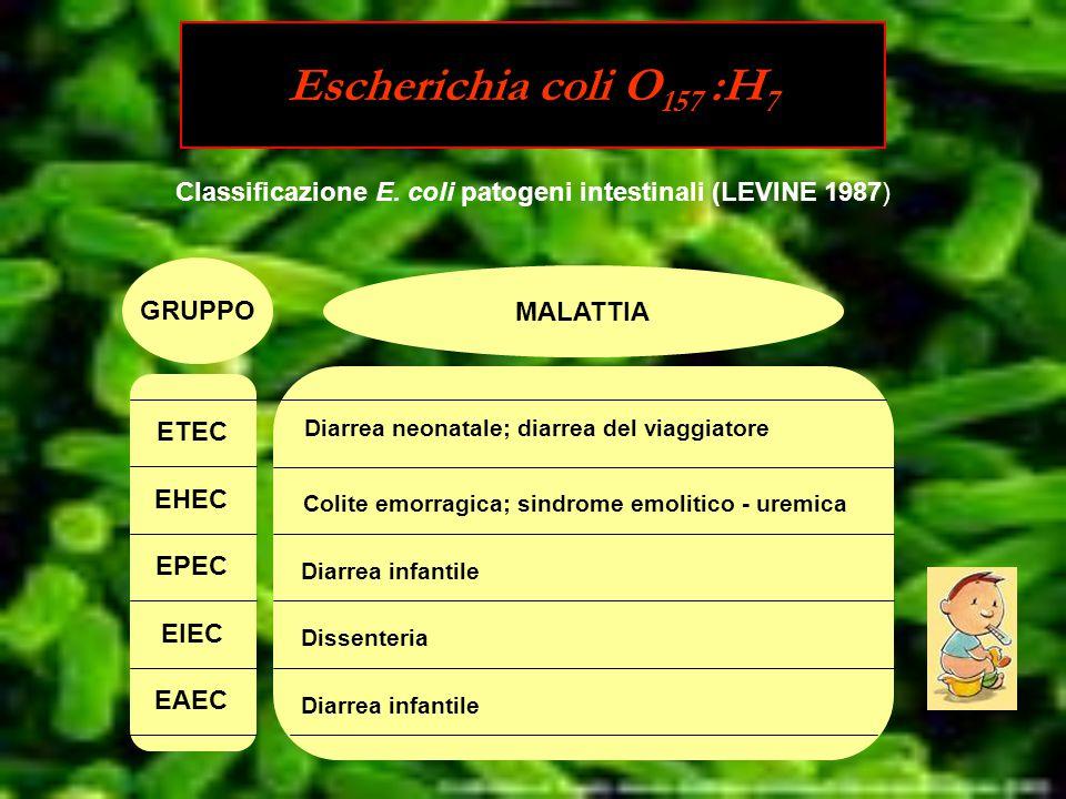 Escherichia coli O 157 :H 7 GRUPPO MALATTIA Diarrea neonatale; diarrea del viaggiatore Colite emorragica; sindrome emolitico - uremica Diarrea infantile Dissenteria Diarrea infantile ETEC EHEC EPEC EIEC EAEC Classificazione E.