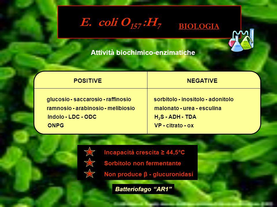 Attività biochimico-enzimatiche POSITIVENEGATIVE glucosio - saccarosio - raffinosio ramnosio - arabinosio - melibiosio Indolo - LDC - ODC ONPG sorbitolo - inositolo - adonitolo malonato - urea - esculina H 2 S - ADH - TDA VP - citrato - ox Incapacità crescita ≥ 44,5°C Sorbitolo non fermentante Non produce β - glucuronidasi Batteriofago AR1 E.