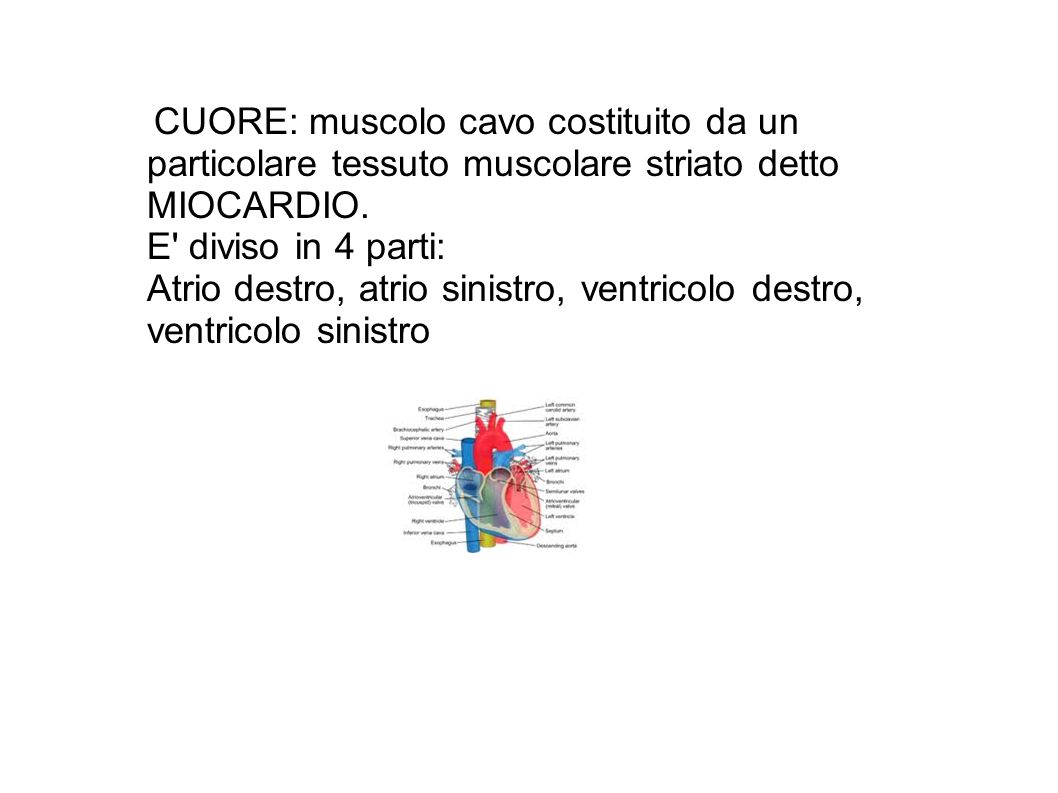 CUORE: muscolo cavo costituito da un particolare tessuto muscolare striato detto MIOCARDIO.