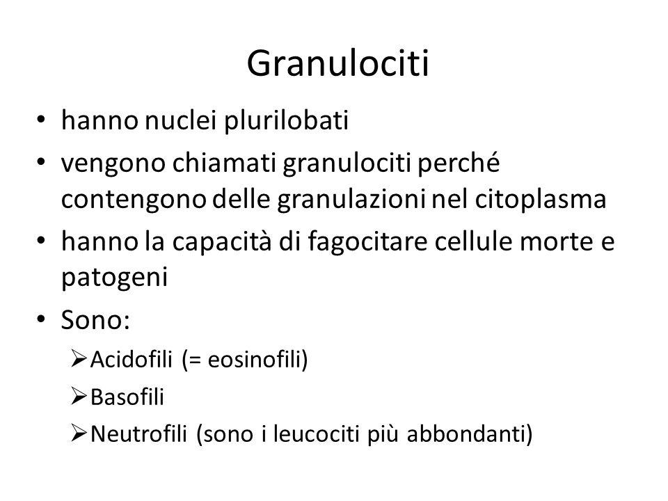 Granulociti hanno nuclei plurilobati vengono chiamati granulociti perché contengono delle granulazioni nel citoplasma hanno la capacità di fagocitare cellule morte e patogeni Sono:  Acidofili (= eosinofili)  Basofili  Neutrofili (sono i leucociti più abbondanti)