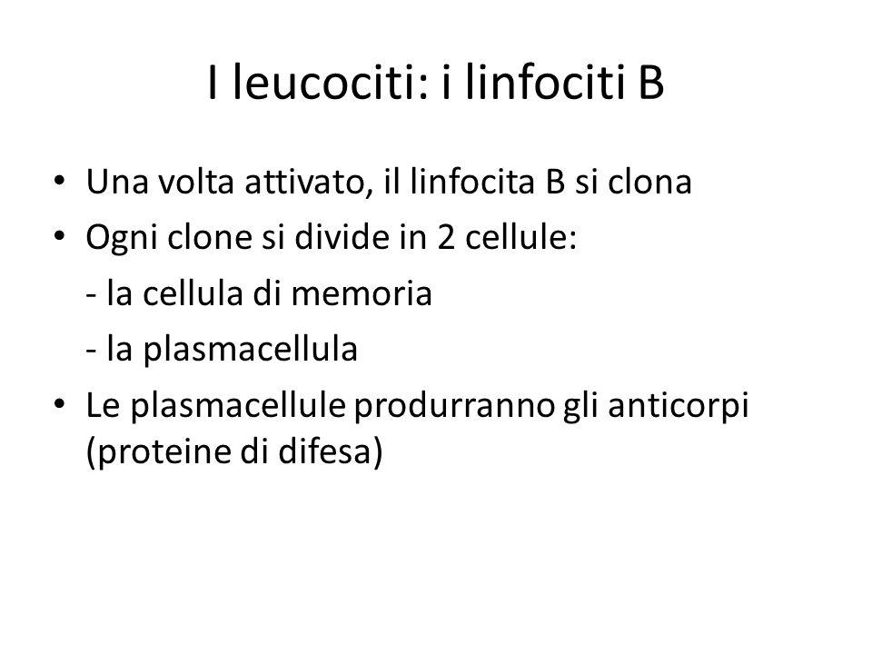I leucociti: i linfociti B Una volta attivato, il linfocita B si clona Ogni clone si divide in 2 cellule: - la cellula di memoria - la plasmacellula L