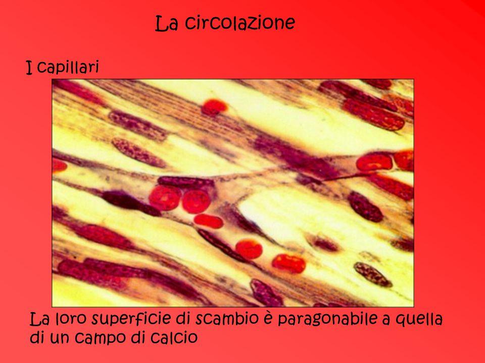 La circolazione I capillari La loro superficie di scambio è paragonabile a quella di un campo di calcio