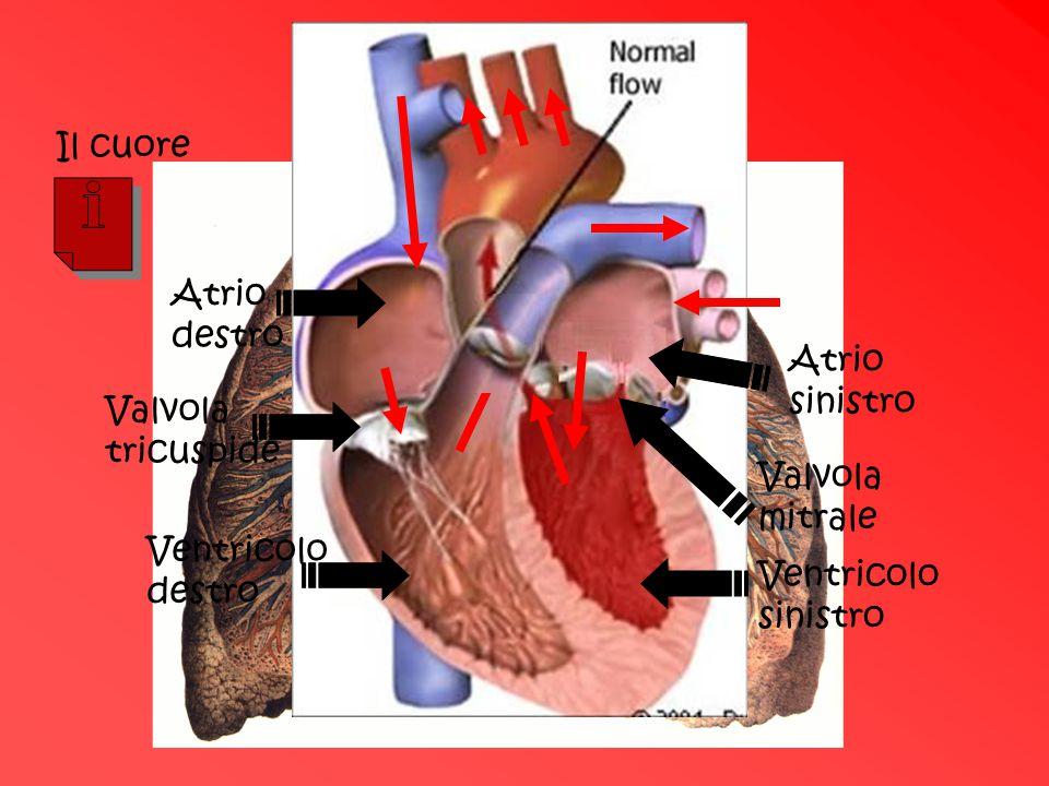 Il cuore Atrio destro Valvola tricuspide Ventricolo destro Atrio sinistro Valvola mitrale Ventricolo sinistro