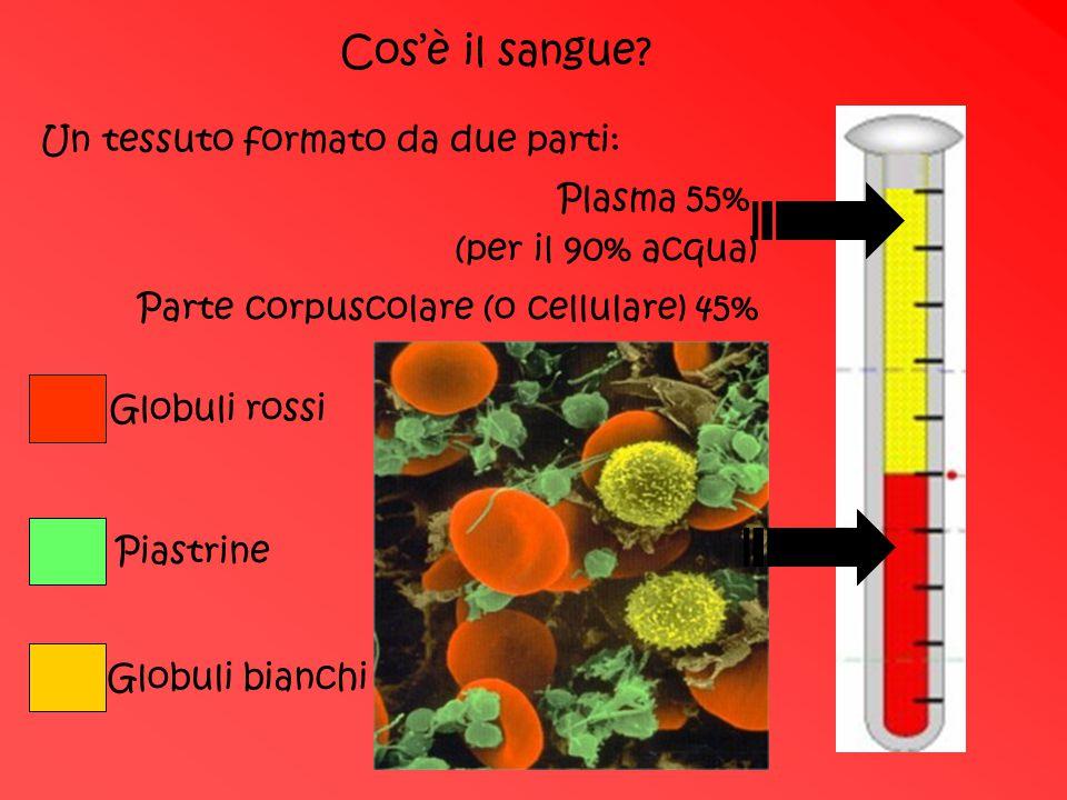 Cos'è il sangue? Un tessuto formato da due parti: Plasma 55% Parte corpuscolare (o cellulare) 45% (per il 90% acqua) Globuli rossi Piastrine Globuli b