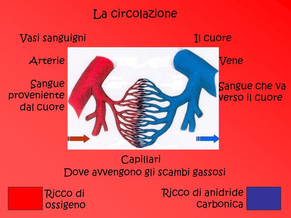 La circolazione Vasi sanguigniIl cuore ArterieVene Sangue proveniente dal cuore Sangue che va verso il cuore Capillari Dove avvengono gli scambi gasso