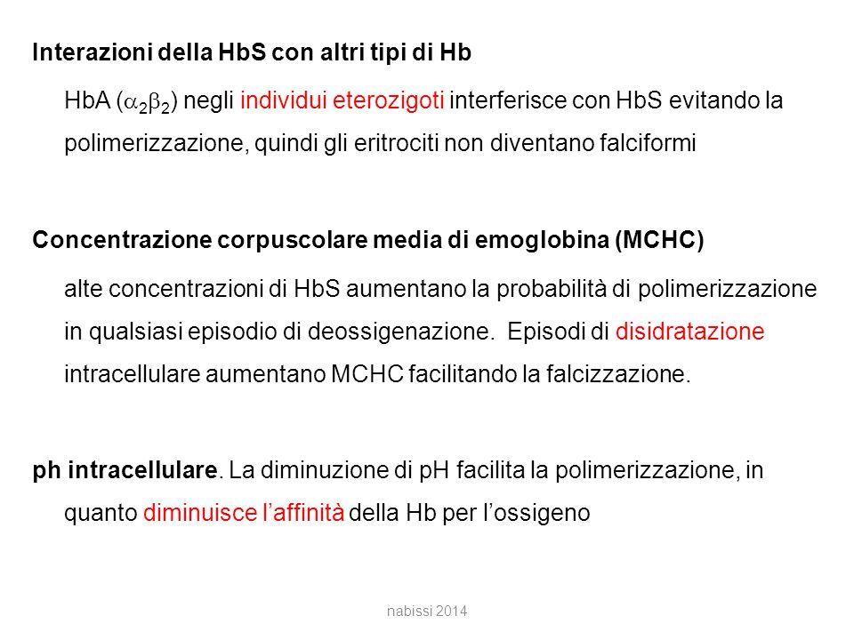 Interazioni della HbS con altri tipi di Hb HbA (  2  2 ) negli individui eterozigoti interferisce con HbS evitando la polimerizzazione, quindi gli eritrociti non diventano falciformi Concentrazione corpuscolare media di emoglobina (MCHC) alte concentrazioni di HbS aumentano la probabilità di polimerizzazione in qualsiasi episodio di deossigenazione.