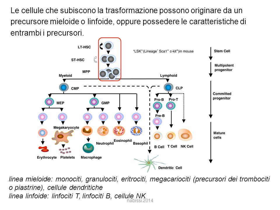 Le cellule che subiscono la trasformazione possono originare da un precursore mieloide o linfoide, oppure possedere le caratteristiche di entrambi i precursori.