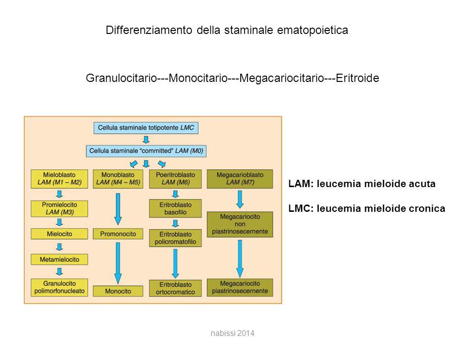 Differenziamento della staminale ematopoietica Granulocitario---Monocitario---Megacariocitario---Eritroide LAM: leucemia mieloide acuta LMC: leucemia mieloide cronica nabissi 2014