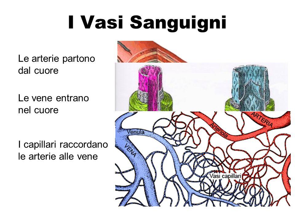 I Vasi Sanguigni Le arterie partono dal cuore Le vene entrano nel cuore I capillari raccordano le arterie alle vene
