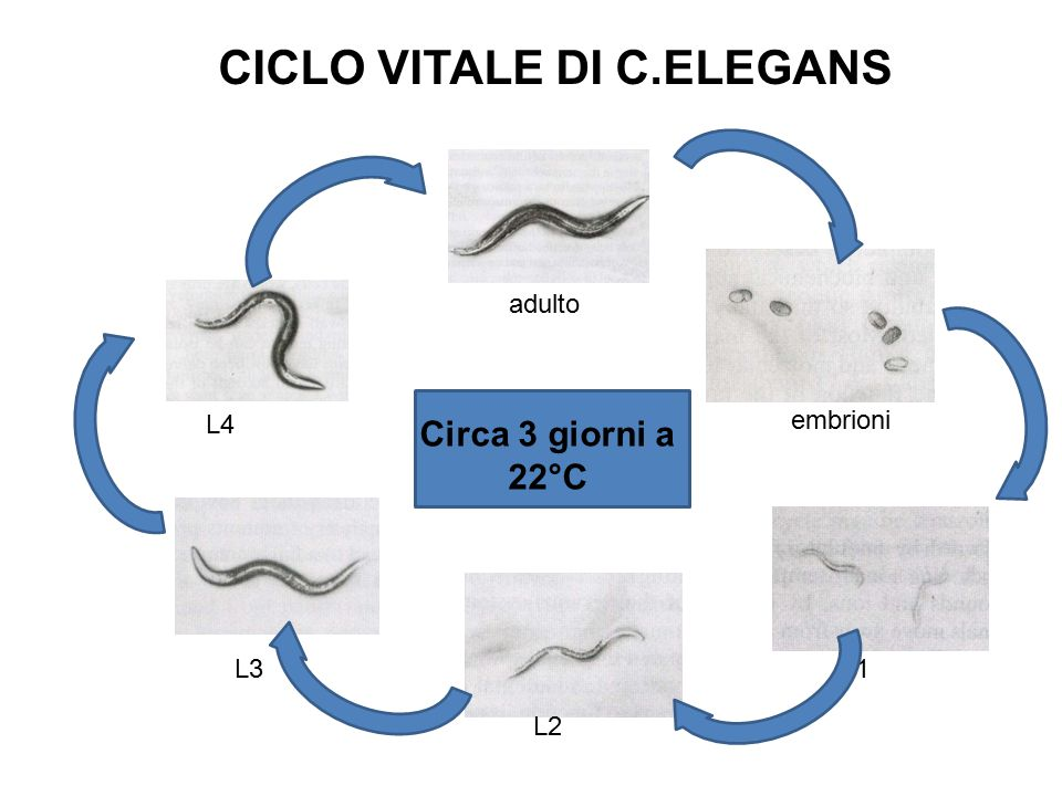 adulto L4 embrioni L1 L2 L3 Circa 3 giorni a 22°C CICLO VITALE DI C.ELEGANS
