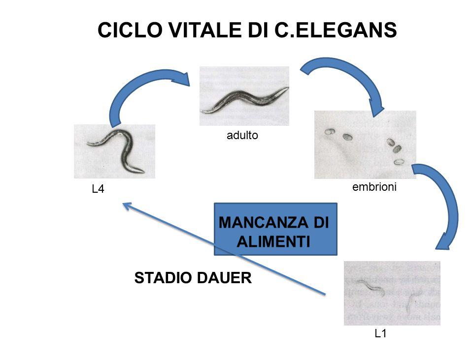 adulto L4 embrioni L1 MANCANZA DI ALIMENTI CICLO VITALE DI C.ELEGANS STADIO DAUER