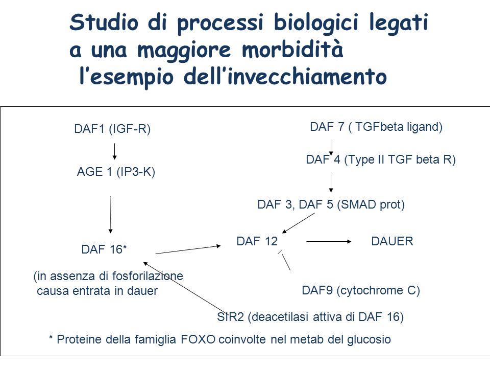 Studio di processi biologici legati a una maggiore morbidità l'esempio dell'invecchiamento DAF1 (IGF-R) AGE 1 (IP3-K) DAF 16* DAF 12DAUER DAF 7 ( TGFbeta ligand) DAF 4 (Type II TGF beta R) DAF 3, DAF 5 (SMAD prot) DAF9 (cytochrome C) (in assenza di fosforilazione causa entrata in dauer * Proteine della famiglia FOXO coinvolte nel metab del glucosio SIR2 (deacetilasi attiva di DAF 16)