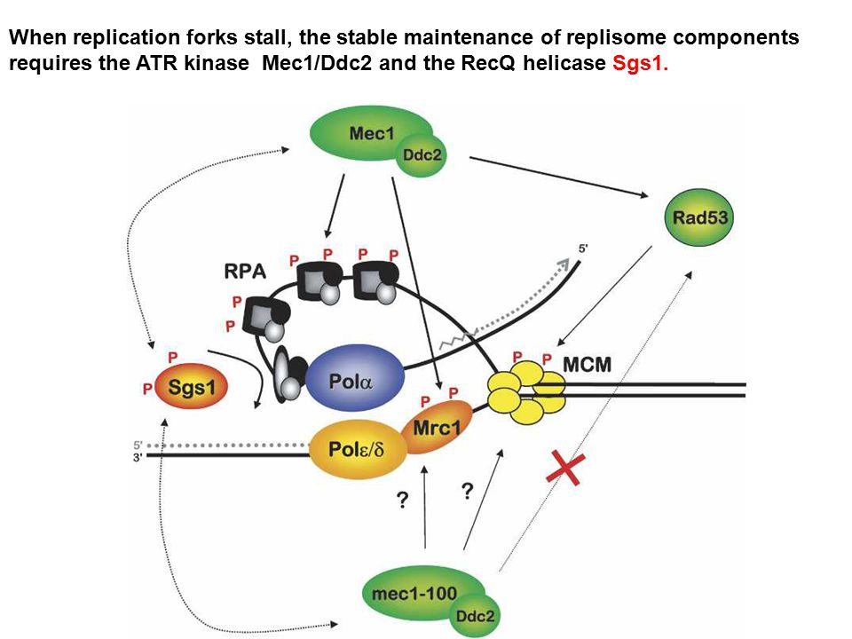 When replication forks stall, the stable maintenance of replisome components requires the ATR kinase Mec1/Ddc2 and the RecQ helicase Sgs1.