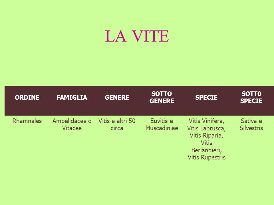 LA VITE ORDINEFAMIGLIAGENERE SOTTO GENERE SPECIE SOTT0 SPECIE RhamnalesAmpelidacee o Vitacee Vitis e altri 50 circa Euvitis e Muscadiniae Vitis Vinife