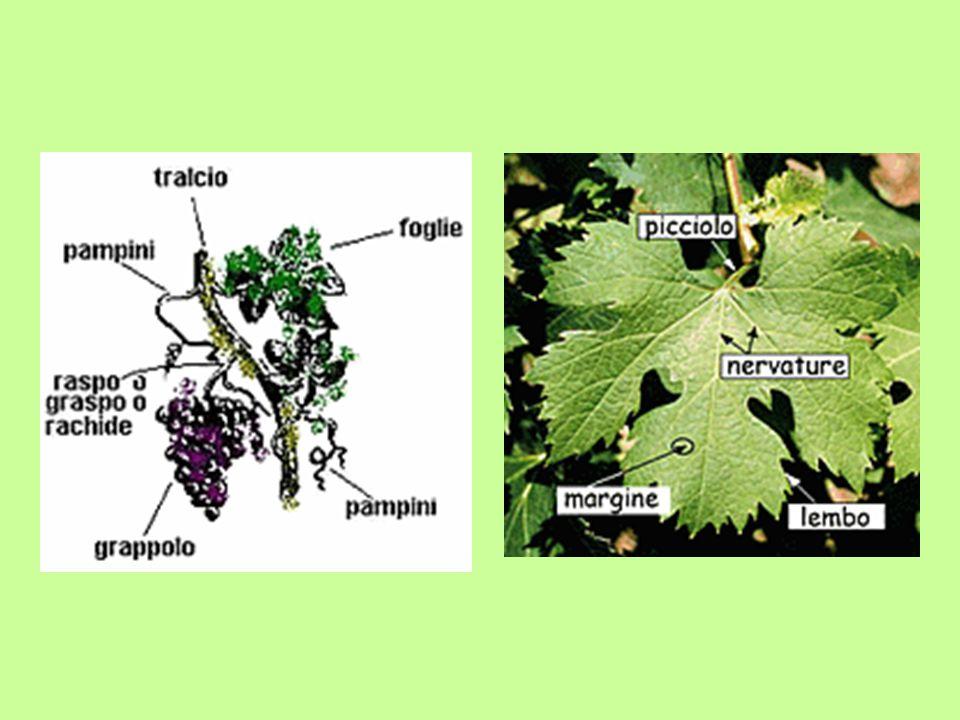 TABELLA DI CORRISPONDENZA TRA SOSTANZE E RELATIVA INFLUENZA SULLE CARATTERISTICHE ORGANOLETTICHE CARATTERE ORGANOLETTICO ELEMENTI E QUANTITA'NOTE SAPORESAPORE VIVACE FRESCHEZZA COLORE SAPORE Da 0 a 50 cc/litro Anidride carbonica L anidride carbonica viene prodotta dalla fermentazione alcolica e conferisce vivacità in base alla quantità presente nel vino.