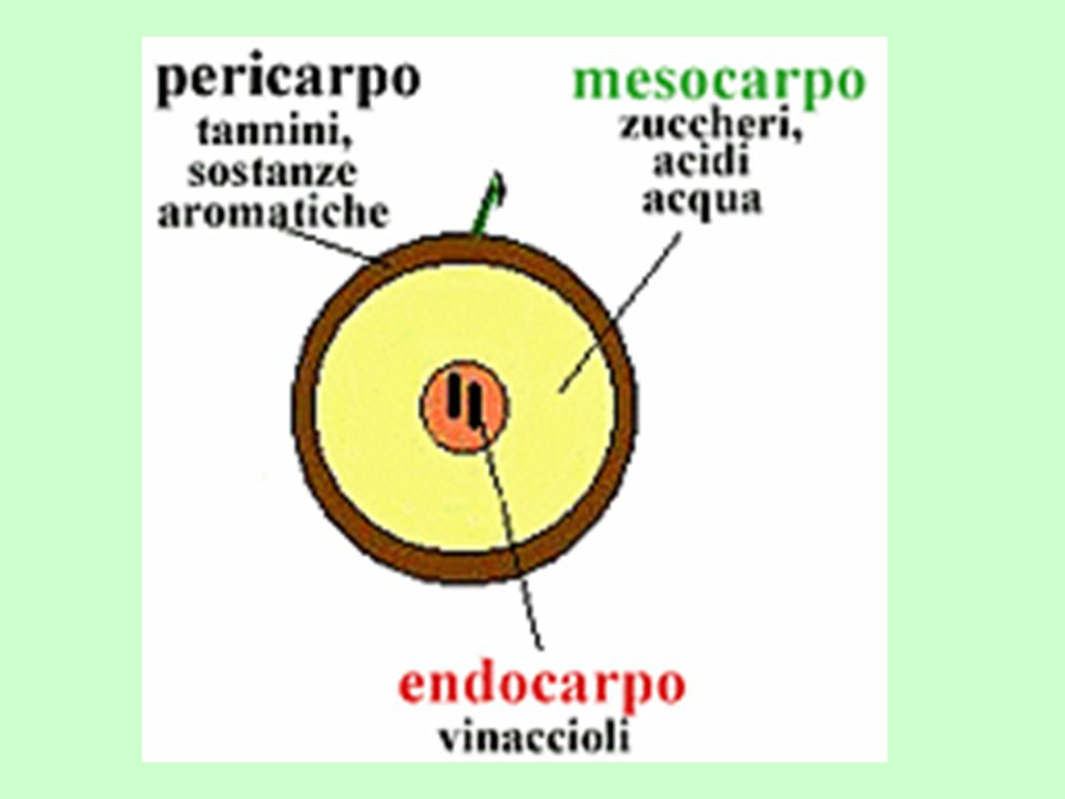 Uva Vicino alla buccia POLIFENOLI (tannini e pigmenti) ACIDO TARTARICO PROTEINE PECTINE Parte mediana GLUCOSIO LEVULOSIO PECTINE ACIDO MALICO ACIDO CITRICO VITAMINE Vicino ai vinaccioli SACCAROSIO CATIONI ANIONI PECTINE Antociani (uve rosse) Flavoni (uve bianche)