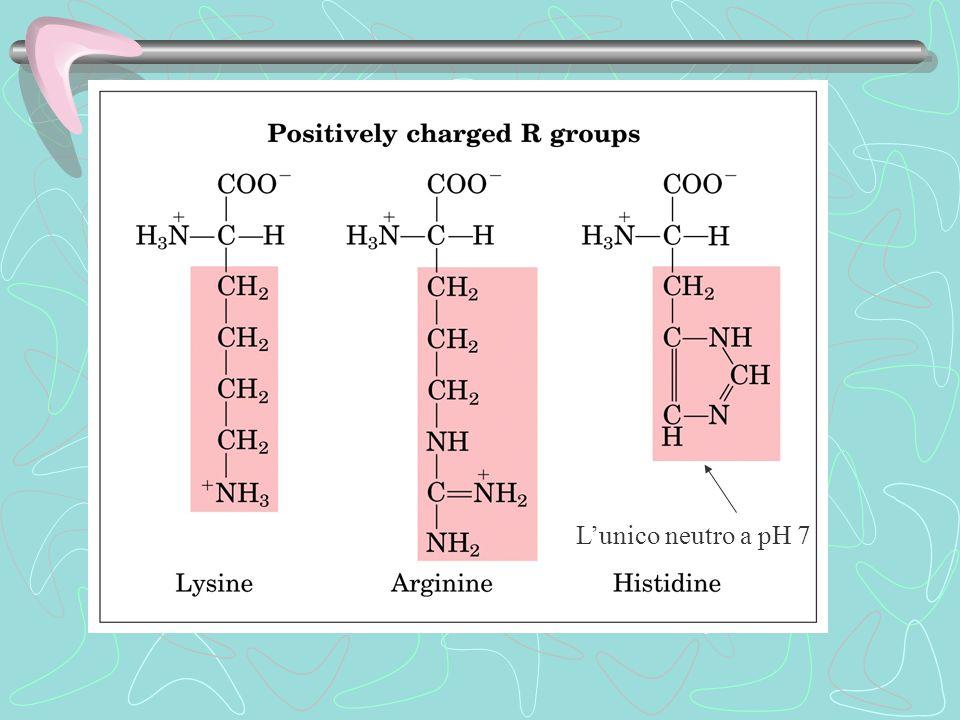 Macromolecole proteiche Nelle cellule costituiscono il 50% della sostanza secca Oligopeptidi  n.