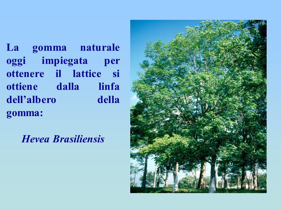 La gomma naturale oggi impiegata per ottenere il lattice si ottiene dalla linfa dell'albero della gomma: Hevea Brasiliensis