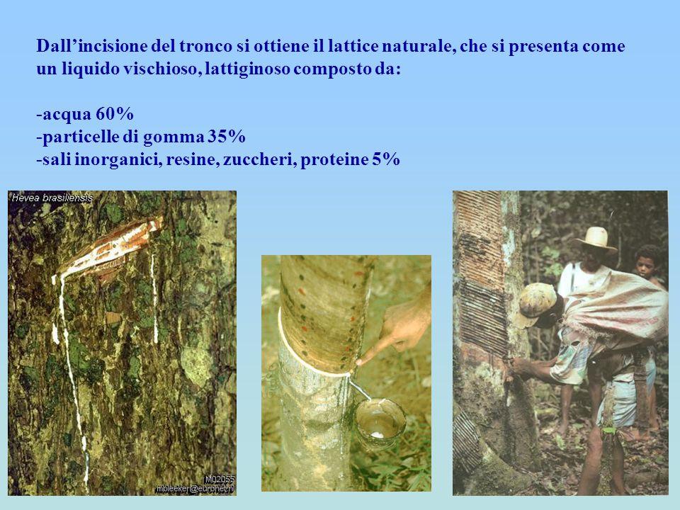 Dall'incisione del tronco si ottiene il lattice naturale, che si presenta come un liquido vischioso, lattiginoso composto da: -acqua 60% -particelle d