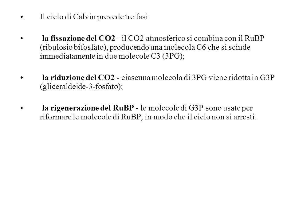 Il ciclo di Calvin prevede tre fasi: la fissazione del CO2 - il CO2 atmosferico si combina con il RuBP (ribulosio bifosfato), producendo una molecola