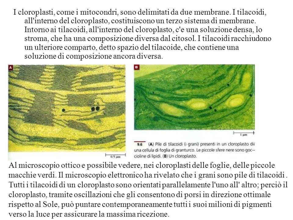 I cloroplasti, come i mitocondri, sono delimitati da due membrane. I tilacoidi, all'interno del cloroplasto, costituiscono un terzo sistema di membran