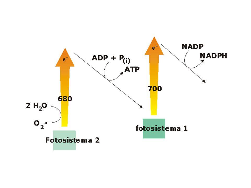2° fase della fotosintesi (detta anche fase oscura) L'energia contenuta nell'ATP e nell'NADPH vengono utilizzati per costruire molecole di glucosio, utilizzando il carbonio e l'ossigeno derivante dalla CO2 e l'idrogeno proveniente dallo stesso NAPDH.