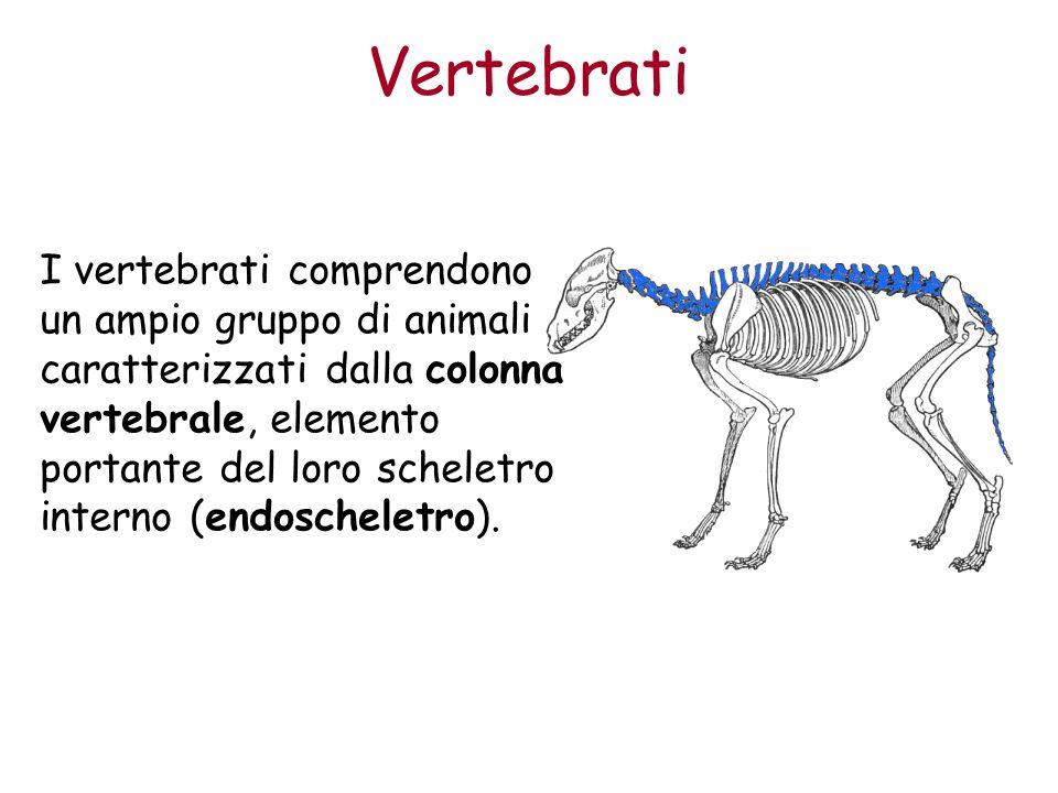 La caratteristica comune dei vertebrati è lo scheletro interno, sorretto da una colonna vertebrale: le altre ossa possono essere di forma molto diversa.