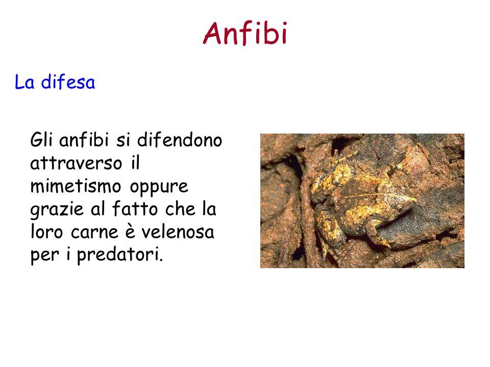 Anfibi La difesa Gli anfibi si difendono attraverso il mimetismo oppure grazie al fatto che la loro carne è velenosa per i predatori.