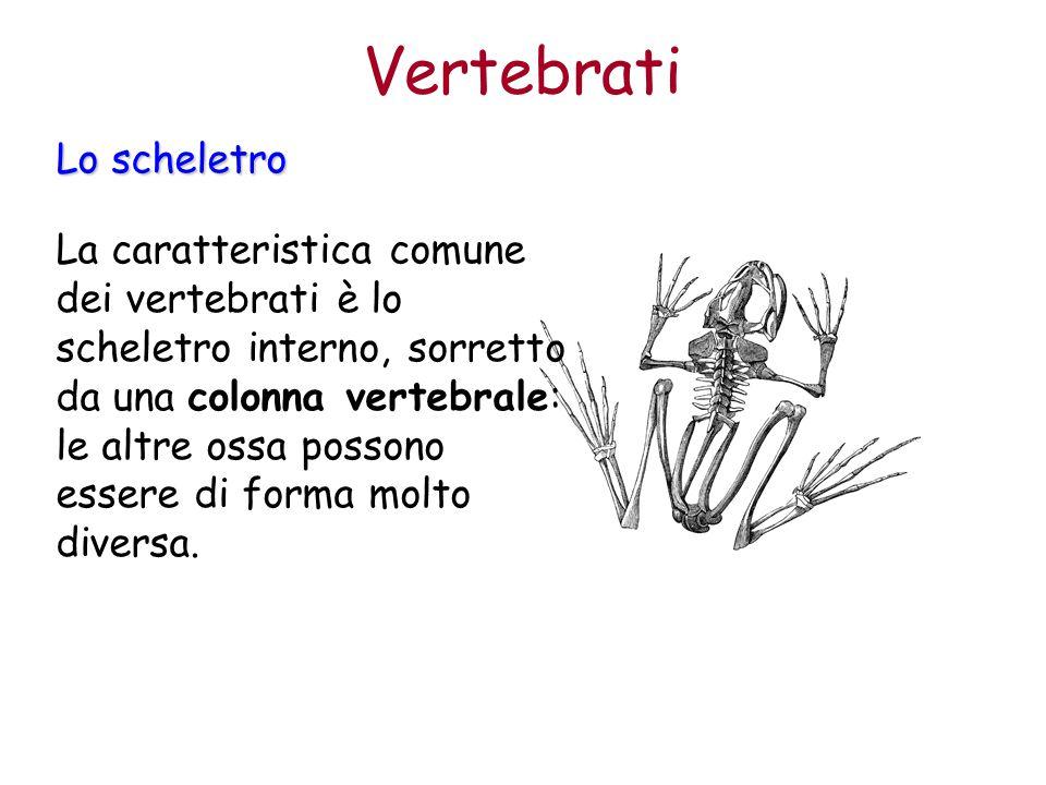 La caratteristica comune dei vertebrati è lo scheletro interno, sorretto da una colonna vertebrale: le altre ossa possono essere di forma molto divers
