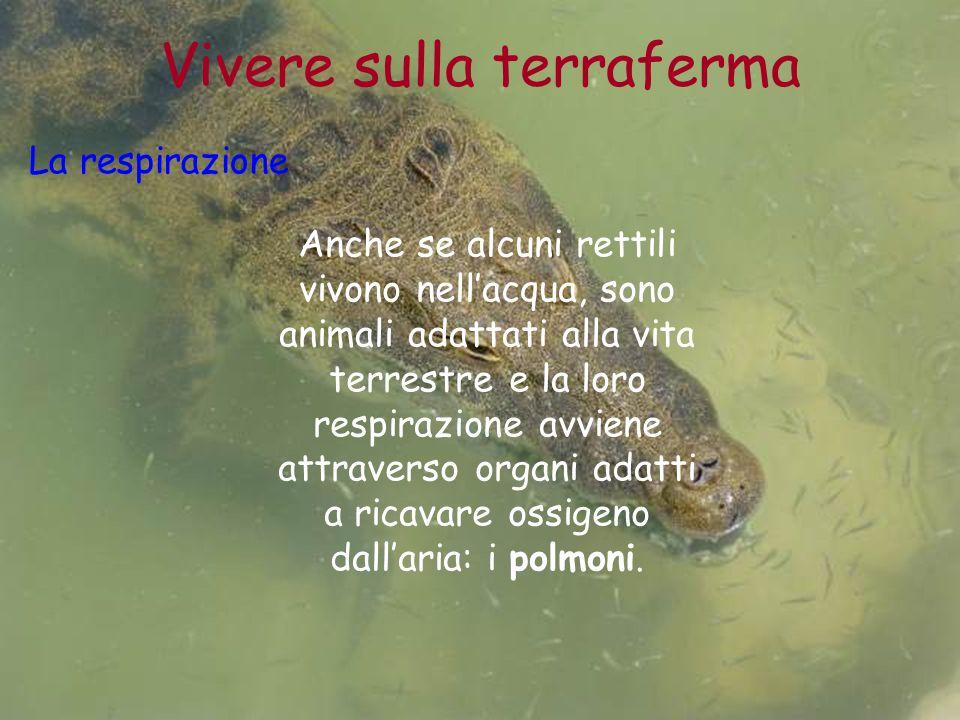 Vivere sulla terraferma La respirazione Anche se alcuni rettili vivono nell'acqua, sono animali adattati alla vita terrestre e la loro respirazione av