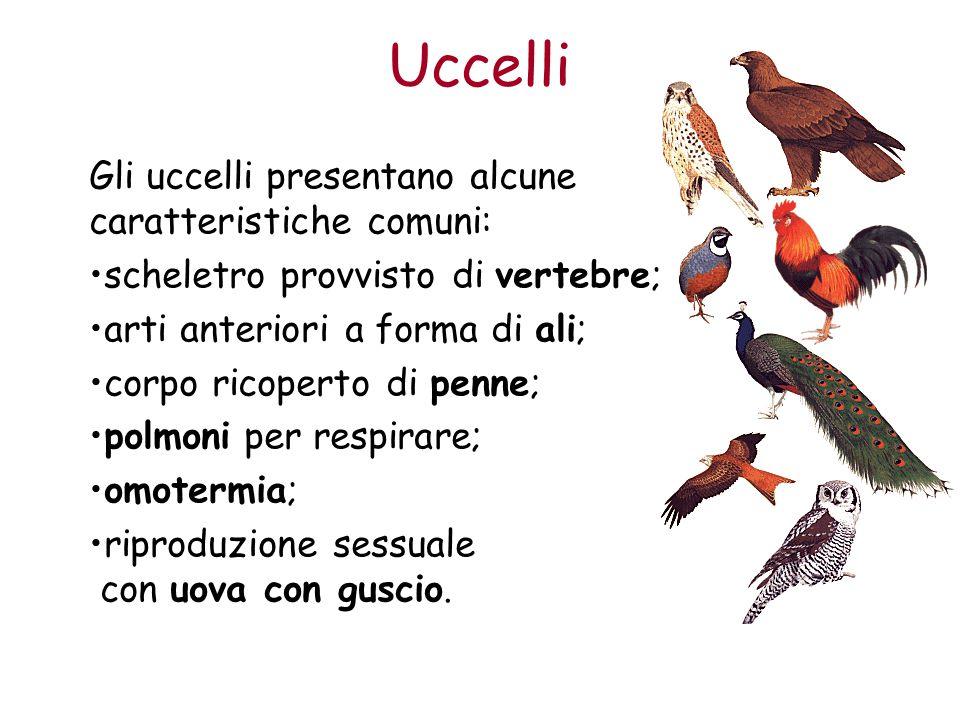 Uccelli Gli uccelli presentano alcune caratteristiche comuni: scheletro provvisto di vertebre; arti anteriori a forma di ali; corpo ricoperto di penne