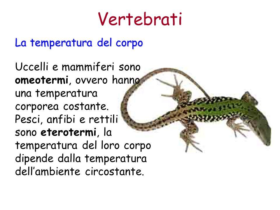 Uccelli e mammiferi sono omeotermi, ovvero hanno una temperatura corporea costante. Pesci, anfibi e rettili sono eterotermi, la temperatura del loro c