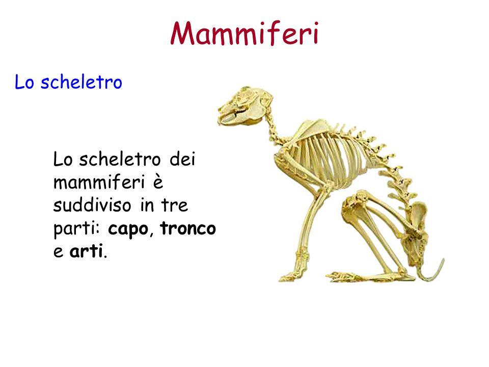 Mammiferi Lo scheletro Lo scheletro dei mammiferi è suddiviso in tre parti: capo, tronco e arti.