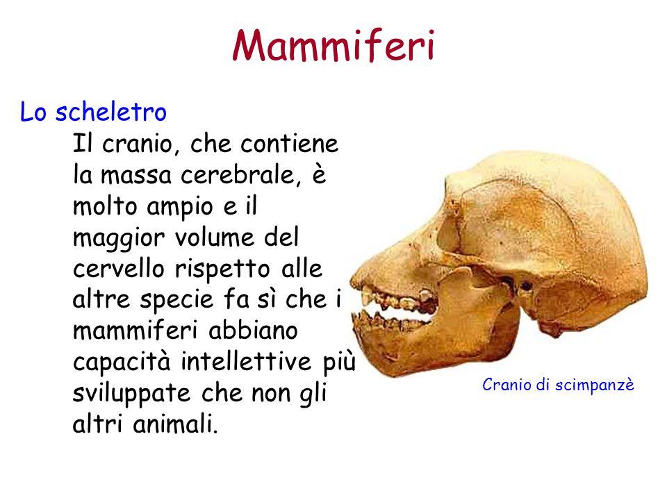 Mammiferi Lo scheletro Il cranio, che contiene la massa cerebrale, è molto ampio e il maggior volume del cervello rispetto alle altre specie fa sì che