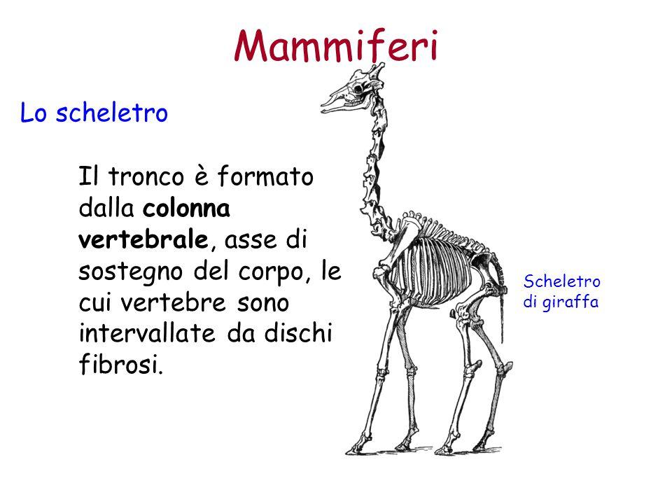 Mammiferi Lo scheletro Il tronco è formato dalla colonna vertebrale, asse di sostegno del corpo, le cui vertebre sono intervallate da dischi fibrosi.
