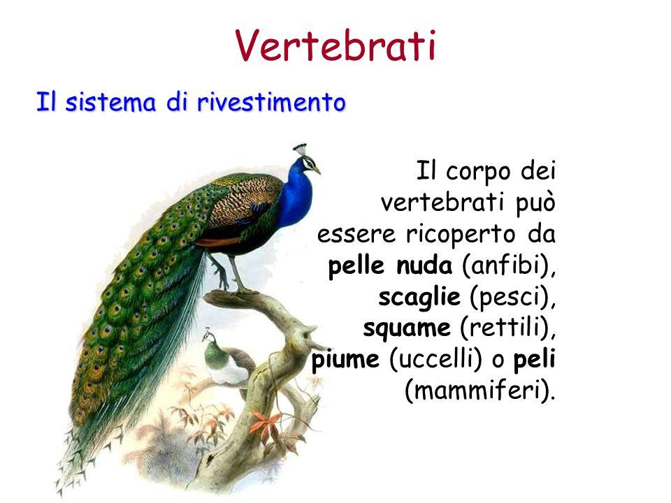 Il corpo dei vertebrati può essere ricoperto da pelle nuda (anfibi), scaglie (pesci), squame (rettili), piume (uccelli) o peli (mammiferi). Vertebrati