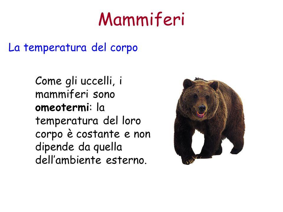 Mammiferi La temperatura del corpo Come gli uccelli, i mammiferi sono omeotermi: la temperatura del loro corpo è costante e non dipende da quella dell