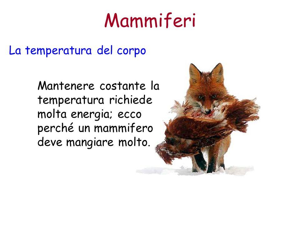 Mammiferi La temperatura del corpo Mantenere costante la temperatura richiede molta energia; ecco perché un mammifero deve mangiare molto.