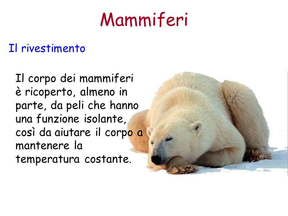 Mammiferi Il rivestimento Il corpo dei mammiferi è ricoperto, almeno in parte, da peli che hanno una funzione isolante, così da aiutare il corpo a man