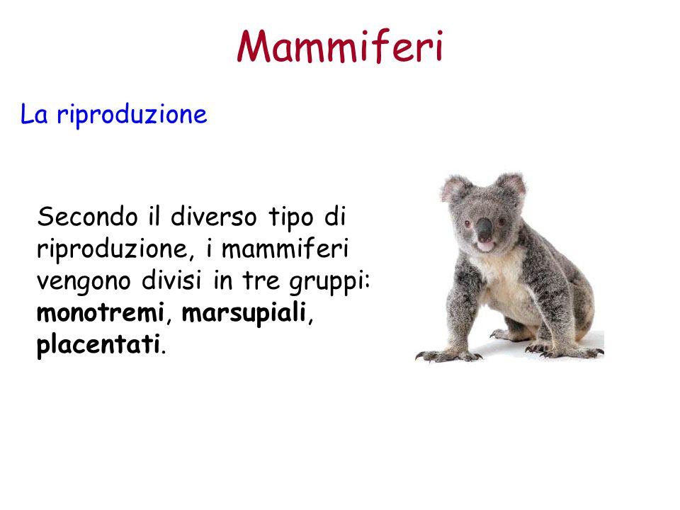 Mammiferi La riproduzione Secondo il diverso tipo di riproduzione, i mammiferi vengono divisi in tre gruppi: monotremi, marsupiali, placentati.