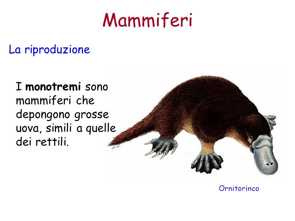 Mammiferi La riproduzione I monotremi sono mammiferi che depongono grosse uova, simili a quelle dei rettili. Ornitorinco