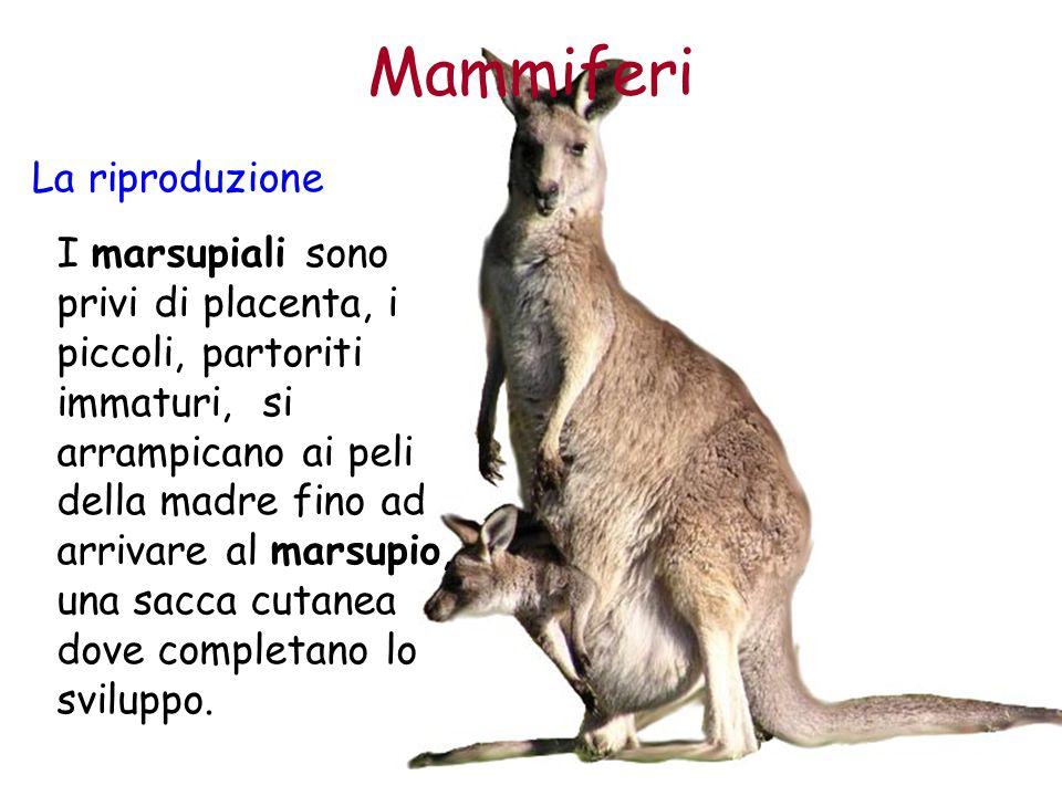 Mammiferi La riproduzione I marsupiali sono privi di placenta, i piccoli, partoriti immaturi, si arrampicano ai peli della madre fino ad arrivare al m