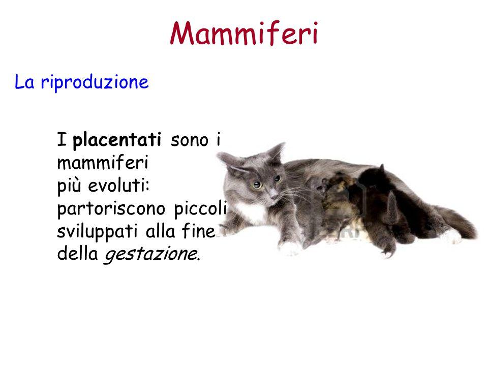 Mammiferi La riproduzione I placentati sono i mammiferi più evoluti: partoriscono piccoli sviluppati alla fine della gestazione.