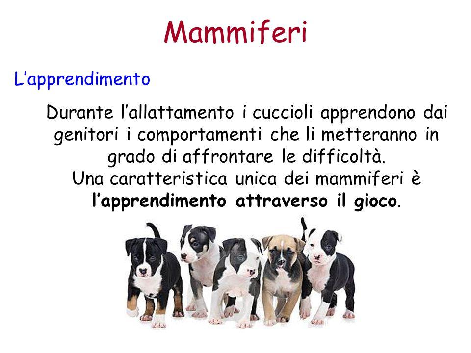 Mammiferi L'apprendimento Durante l'allattamento i cuccioli apprendono dai genitori i comportamenti che li metteranno in grado di affrontare le diffic