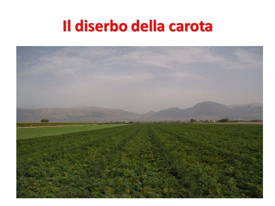 Il diserbo della carota