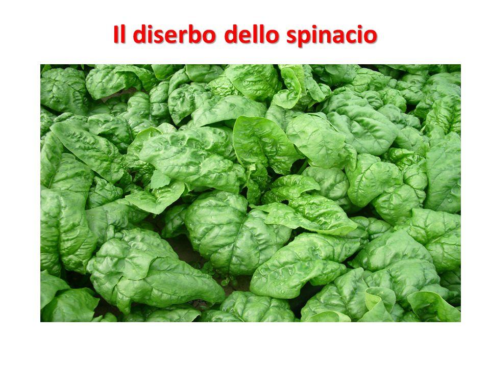 spinacio Il diserbo dello spinacio