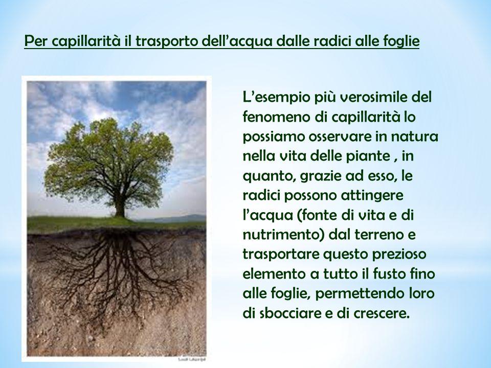 Per capillarità il trasporto dell'acqua dalle radici alle foglie L'esempio più verosimile del fenomeno di capillarità lo possiamo osservare in natura
