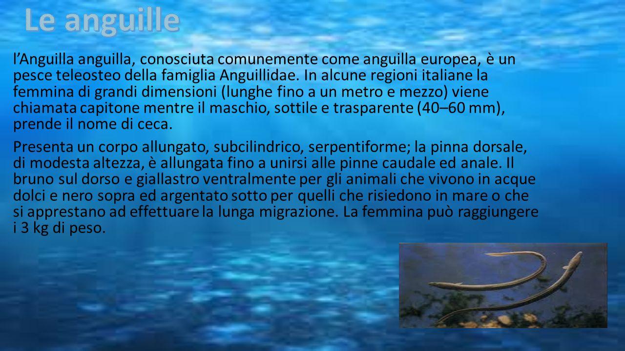 l'Anguilla anguilla, conosciuta comunemente come anguilla europea, è un pesce teleosteo della famiglia Anguillidae. In alcune regioni italiane la femm