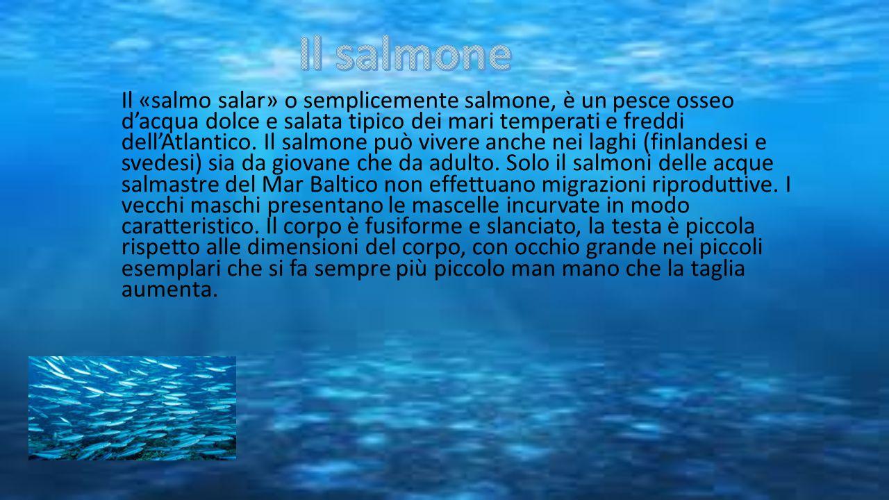 Il «salmo salar» o semplicemente salmone, è un pesce osseo d'acqua dolce e salata tipico dei mari temperati e freddi dell'Atlantico. Il salmone può vi